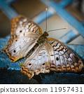 peacock, anartia, jatrophae 11957431