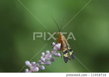 생물 곤충 야마토시리아게 하시고 천한 이름의 이상한 벌레입니다. 파리에서 벌도 아니고 밑들이 목이라는 독립적 인 눈의 곤충입니다 11958716