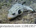 菲律賓 河豚 魚 11961957