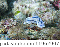 A white and black nudibranch 11962907