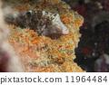 菲律賓 河豚 魚 11964484
