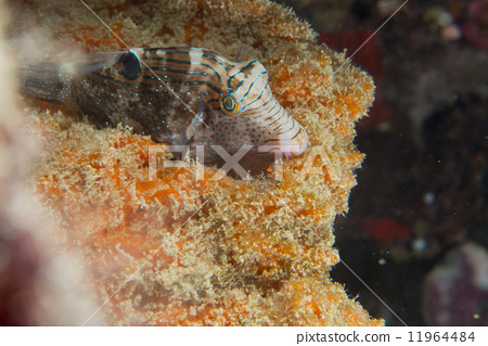 A puffer fish in Philippines 11964484