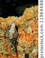 菲律賓 河豚 魚 11964488
