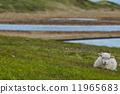 羊毛 羊 綿羊 11965683
