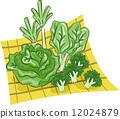 甘藍 包菜 椰菜 12024879