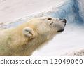Polar bears 12049060