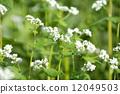 Soba flower 12049503