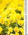 ビオラの花 12053659