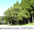 樟木 樟腦樹 大樹 12070391