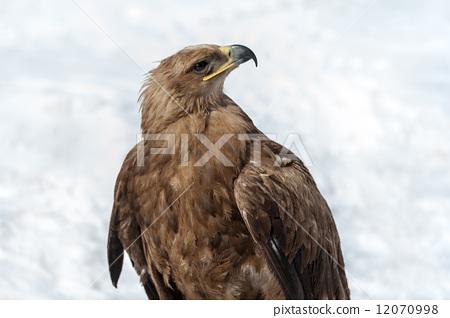 Eagle, winter season 12070998