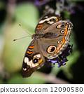 wings, buckeye, green 12090580
