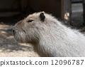 草食動物 多毛的 水豚 12096787