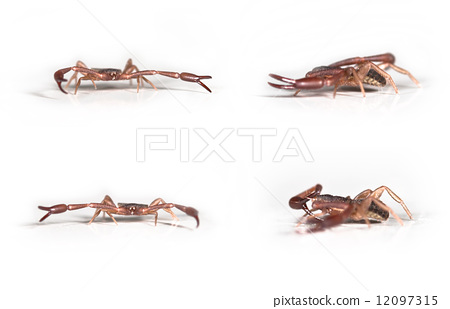 Pseudoscorpion Chelifer Cancroides In Various Positions Size 35mm