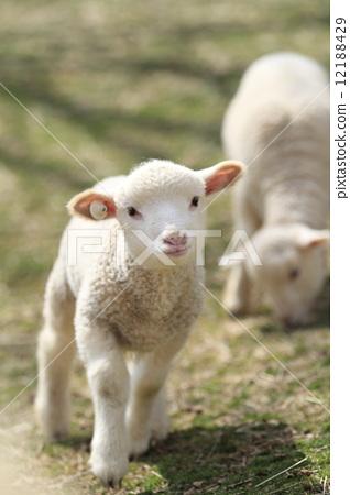 Lamb 12188429