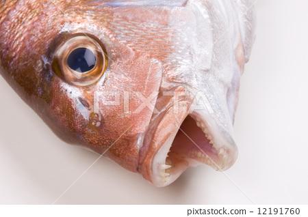 Natural red sea bream 12191760
