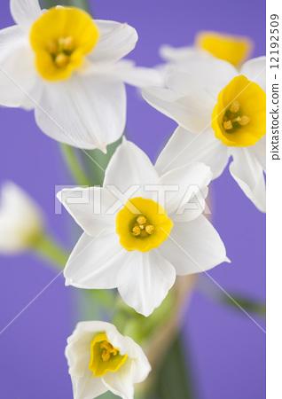 수선화 꽃 12192509