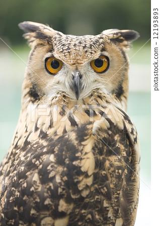 Bengal Eagleworm 12193893