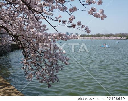 在華盛頓特區的櫻花 12198639