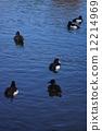 tufted, duck, aythya 12214969