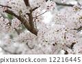 Cherry Blossoms 12216445