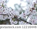 Cherry Blossoms 12216446