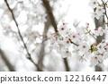 Cherry Blossoms 12216447