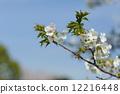 Cherry Blossoms 12216448