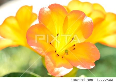 Virea(馬來西亞杜鵑花) 12222588