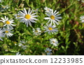 Michaelmas, daisy, bloom 12233985