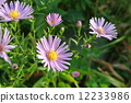 Michaelmas, daisy, bloom 12233986