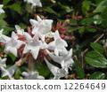 一朵芬芳的阿比利亞白花盛開從春天到秋天 12264649