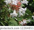 一朵芬芳的阿比利亞白花盛開從春天到秋天 12264651