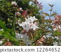 一朵芬芳的阿比利亞白花盛開從春天到秋天 12264652