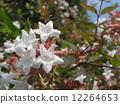 一朵芬芳的阿比利亞白花盛開從春天到秋天 12264653