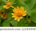 การจัดดอกไม้ของดอกไม้สีเหลืองในสวนดอกไม้ Melanpodium 12264948