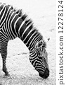 Black and white photo of zebra 12278124