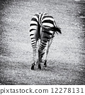 Rear view of zebra - black and white photo 12278131