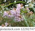 一朵芬芳的阿比利亞白花盛開從春天到秋天 12292747