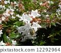 一朵芬芳的阿比利亞白花盛開從春天到秋天 12292964