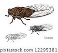 昆蟲 蟬 向量 12295381