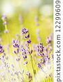 Lavender flowers bloom summer time 12299609