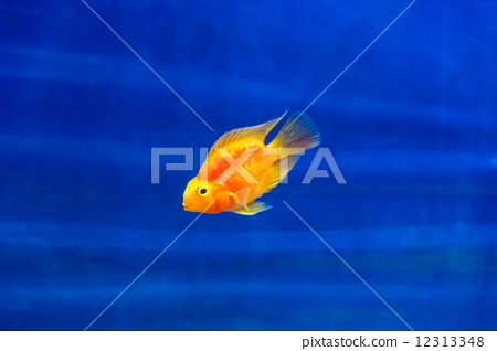 Red Parrot Cichlid 12313348