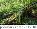 Wild tropical plant in mossy rain forest. Thailand 12315186