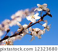 Flowering plum tree branch 12323680