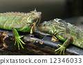 outdoor, lizard, closeup 12346033