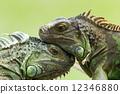 outdoor, lizard, closeup 12346880
