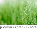 草地 背景 水稻 12351276