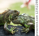 outdoor, lizard, closeup 12352299