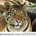 老虎 虎 臉部 12353545