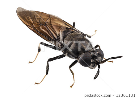 black soldier fly species Hermetia illucens 12361131
